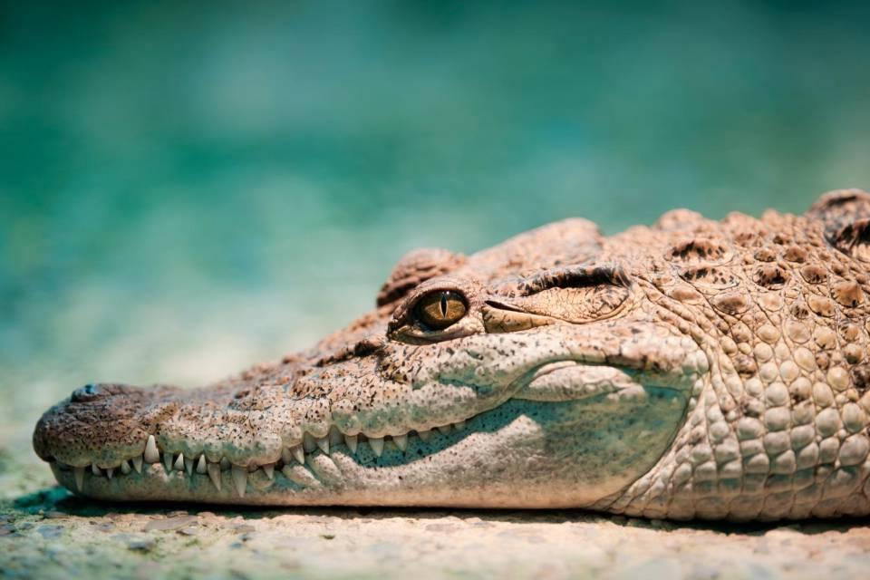 Cosa significa sognare coccodrilli?