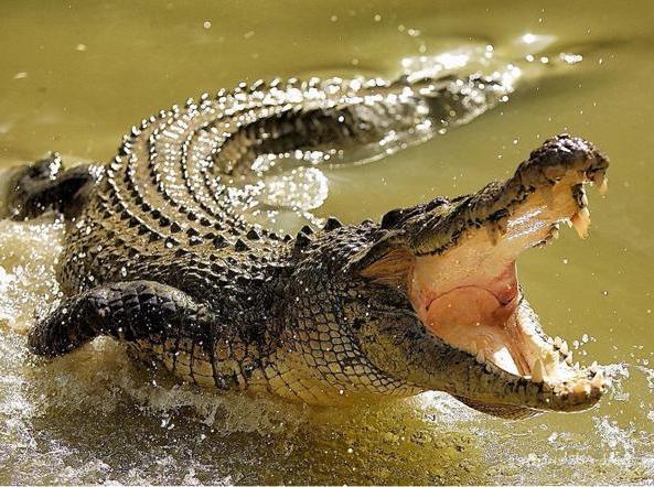 Sognare coccodrilli