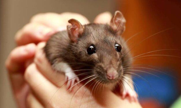 Cosa significa sognare topi?